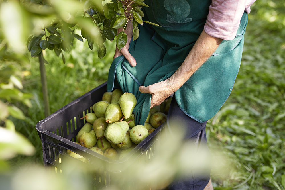 Organic farmer harvests Williams pears and stores them in boxes.